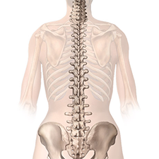 X-ray view of the male spinal chord illustration
